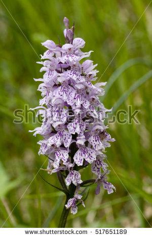 "dactylorhiza Maculata"" Stock Photos, Royalty."
