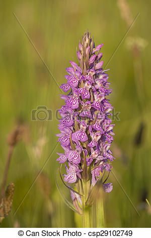 Stock Photo of Southern Marsh Orchid flowering.