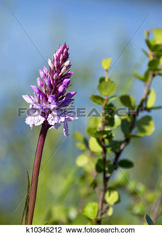 Stock Photo of Dactylorhiza maculata orchid k10345212.
