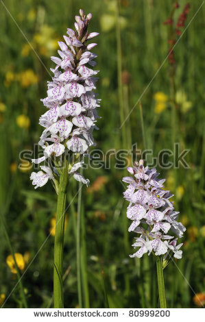 "white Bog Orchid"" Stock Photos, Royalty."