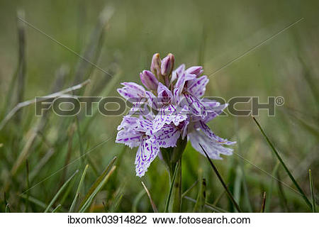 "Stock Photo of ""Spotted Orchid or Heath Spotted Orchid."
