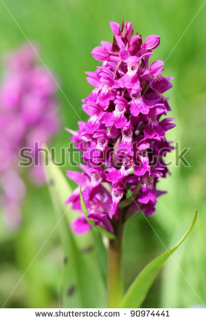 Pyramidal Orchid Flower Anacamptis Pyramidalis Closeup Stock Photo.