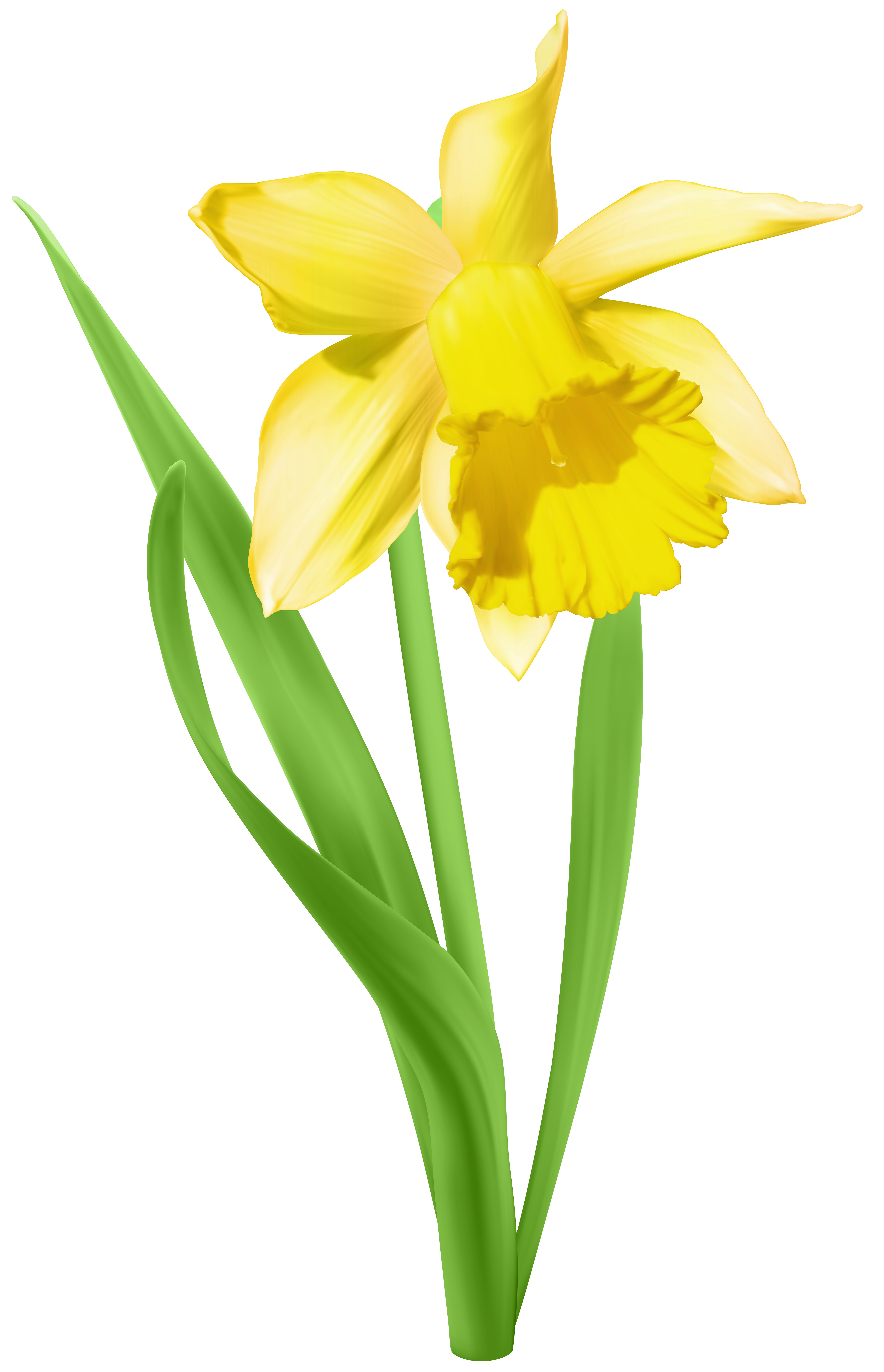 Daffodil Transparent PNG Clip Art Image.