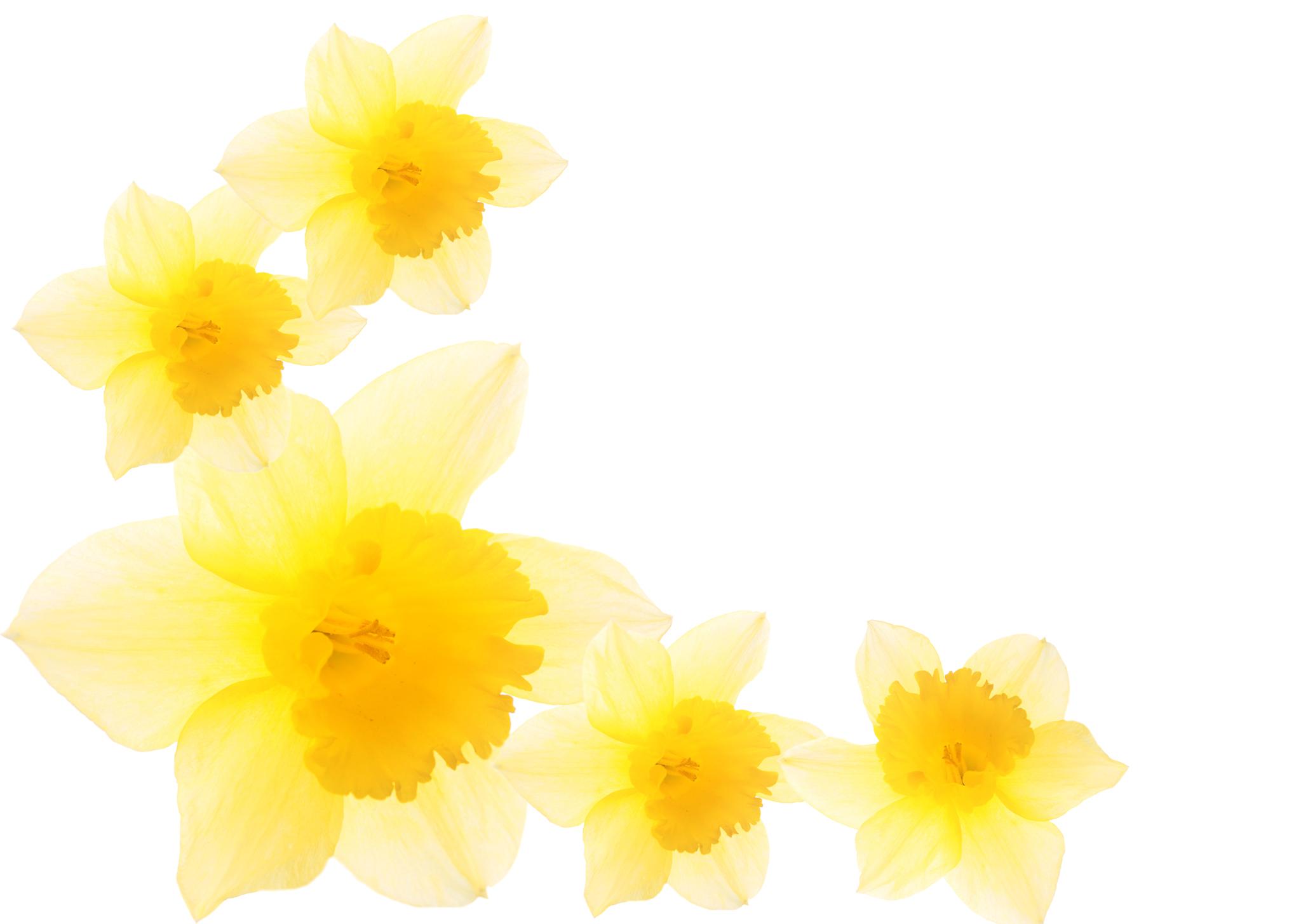 Free Daffodil Border Cliparts, Download Free Clip Art, Free.