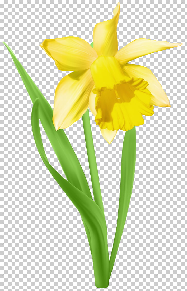 Daffodil , Daffodil Transparent , yellow flower PNG clipart.