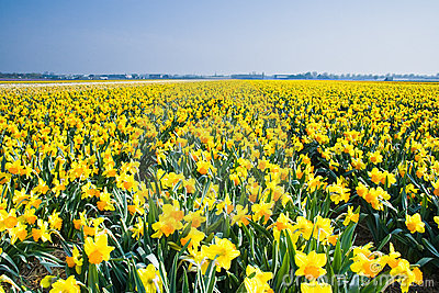 Dutch Daffodils Field Royalty Free Stock Photo.