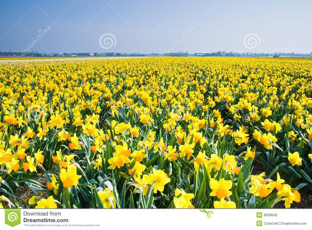 Field With Yellow Daffodils In April Royalty Free Stock Photo.