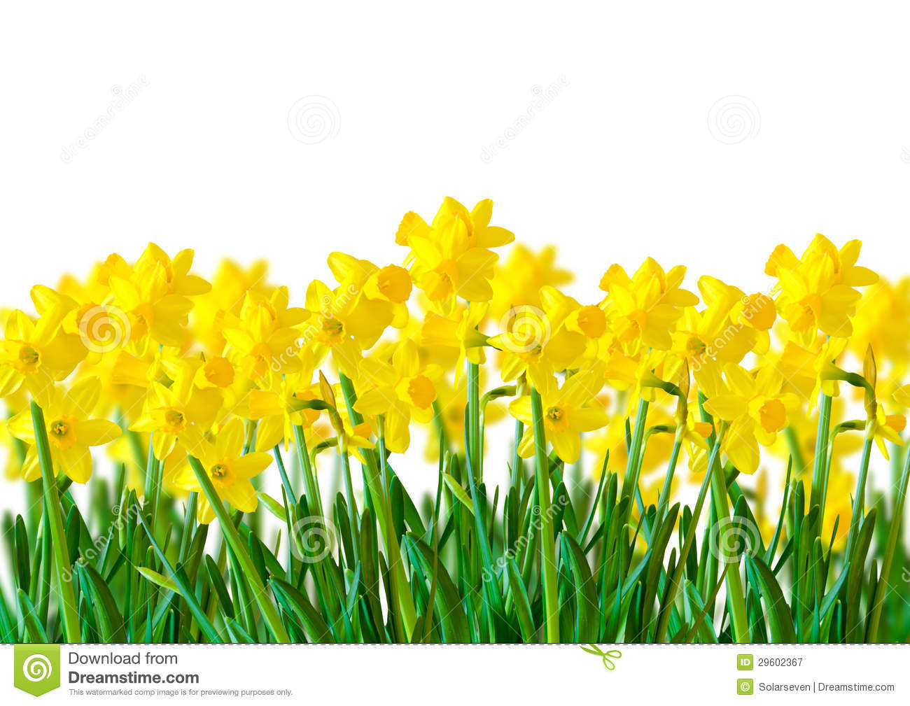 Yellow Daffodils Royalty Free Stock Photography.