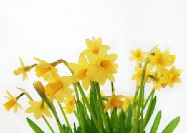 Daffodil pics free.