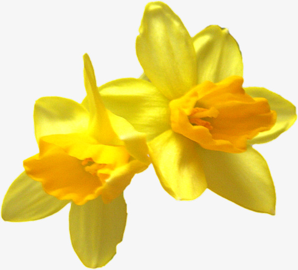Yellow Daffodils, Yellow, Daffodils, Flowers PNG Transparent Image.