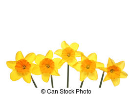Daffodil Illustrations and Clip Art. 1,965 Daffodil royalty free.