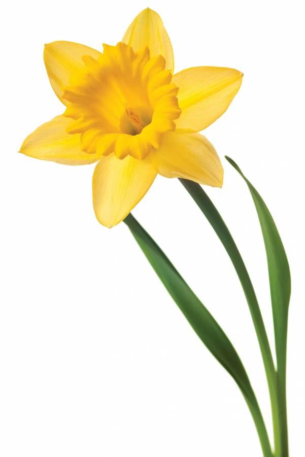 Single Daffodil.