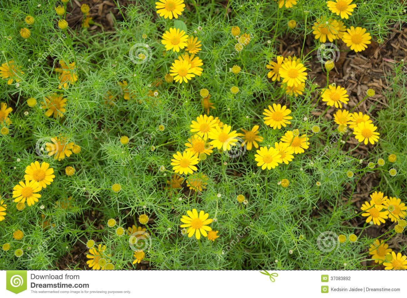 Dahlberg Daisy Yellow Stock Photography.