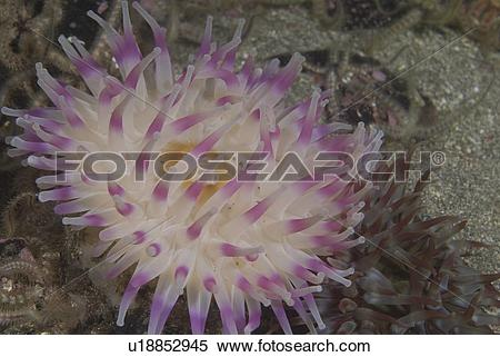 Stock Image of Deepwater Dahlia Anemone, (Urticina eques), lovely.