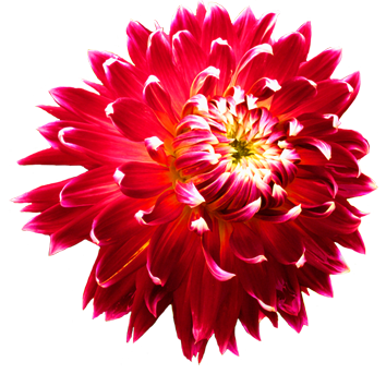 Dahlia flowers clipart 20 free Cliparts | Download images ...