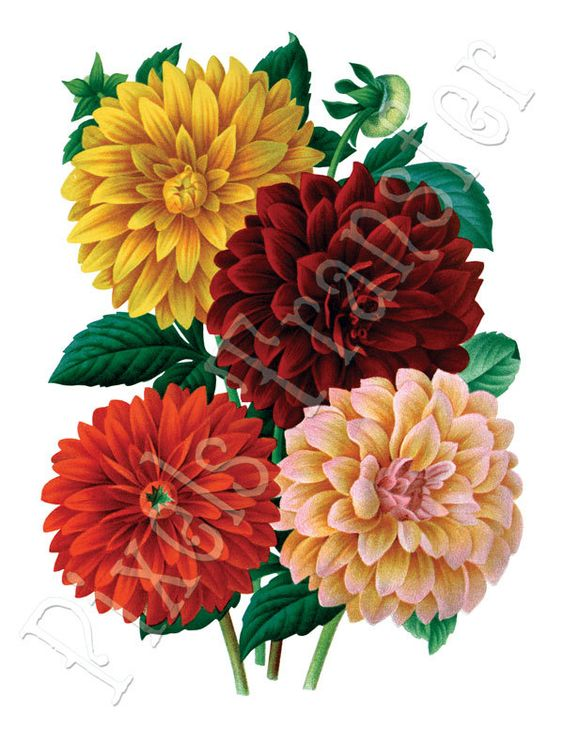 DAHLIAS Instant Download red yellow flower wedding clipart 166.