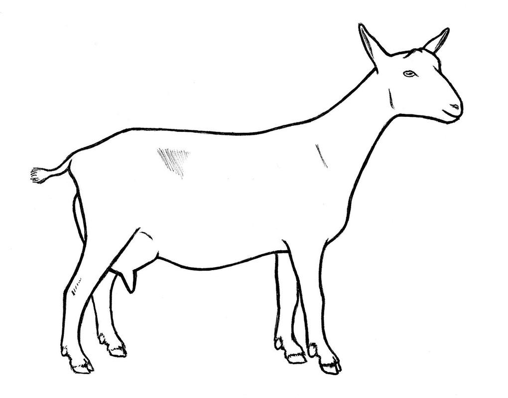 Goat Drawings.