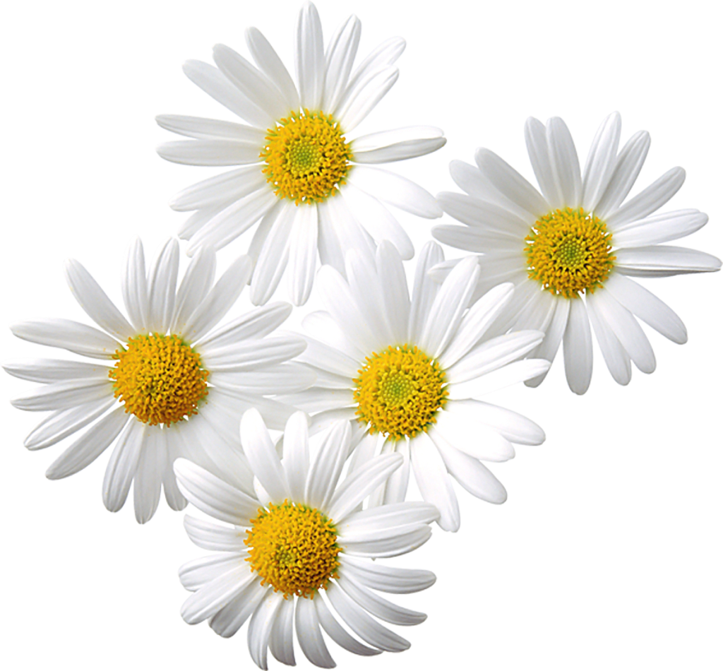 Daisies clipart - Clipground