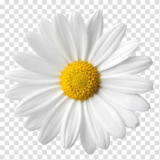 Common daisy Daisy family , others transparent background.