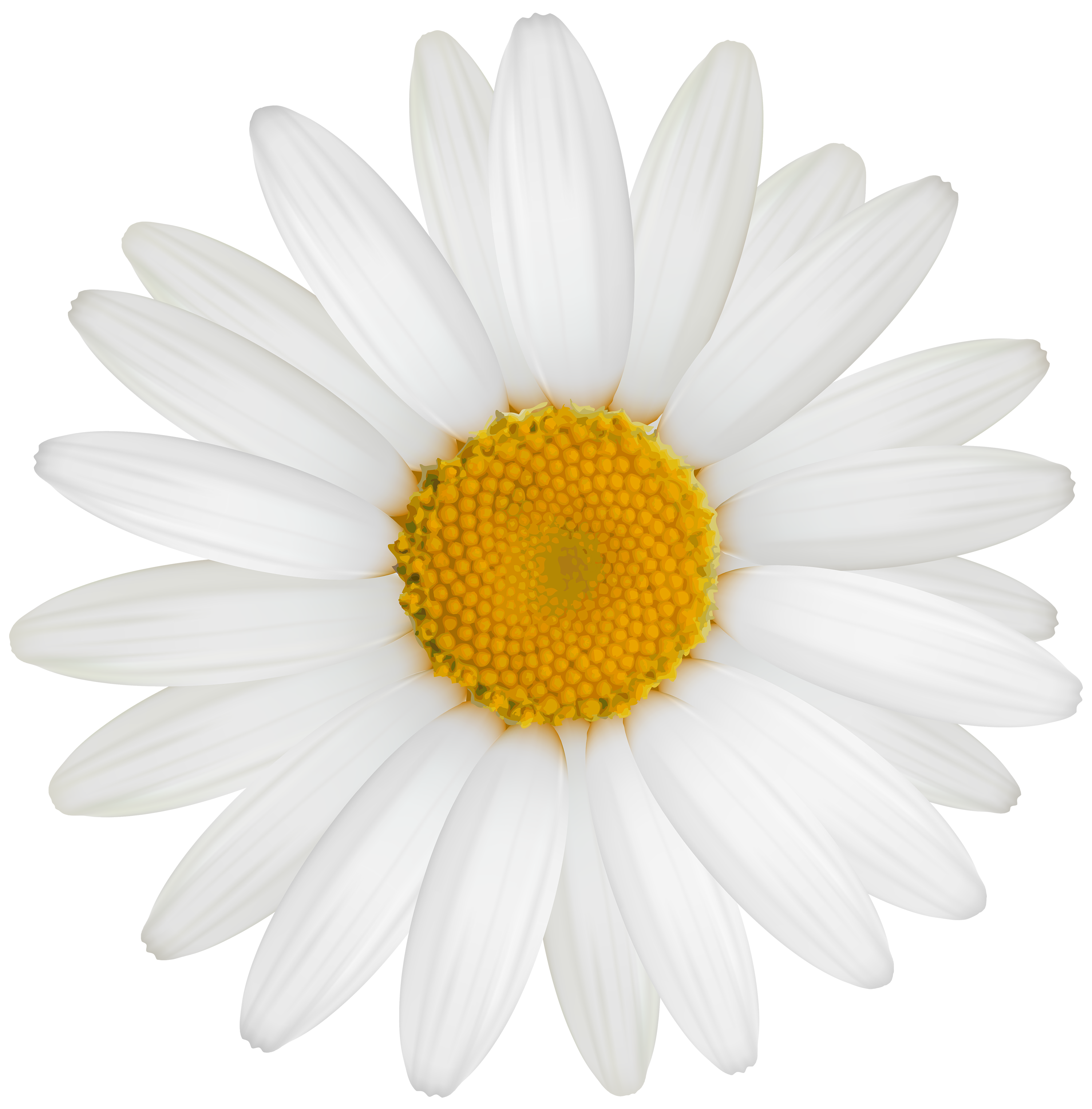 White Daisy PNG Clipart.