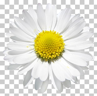 1,272 daisy Vector PNG cliparts for free download.