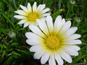 White Daisy Photo Clipart Image.