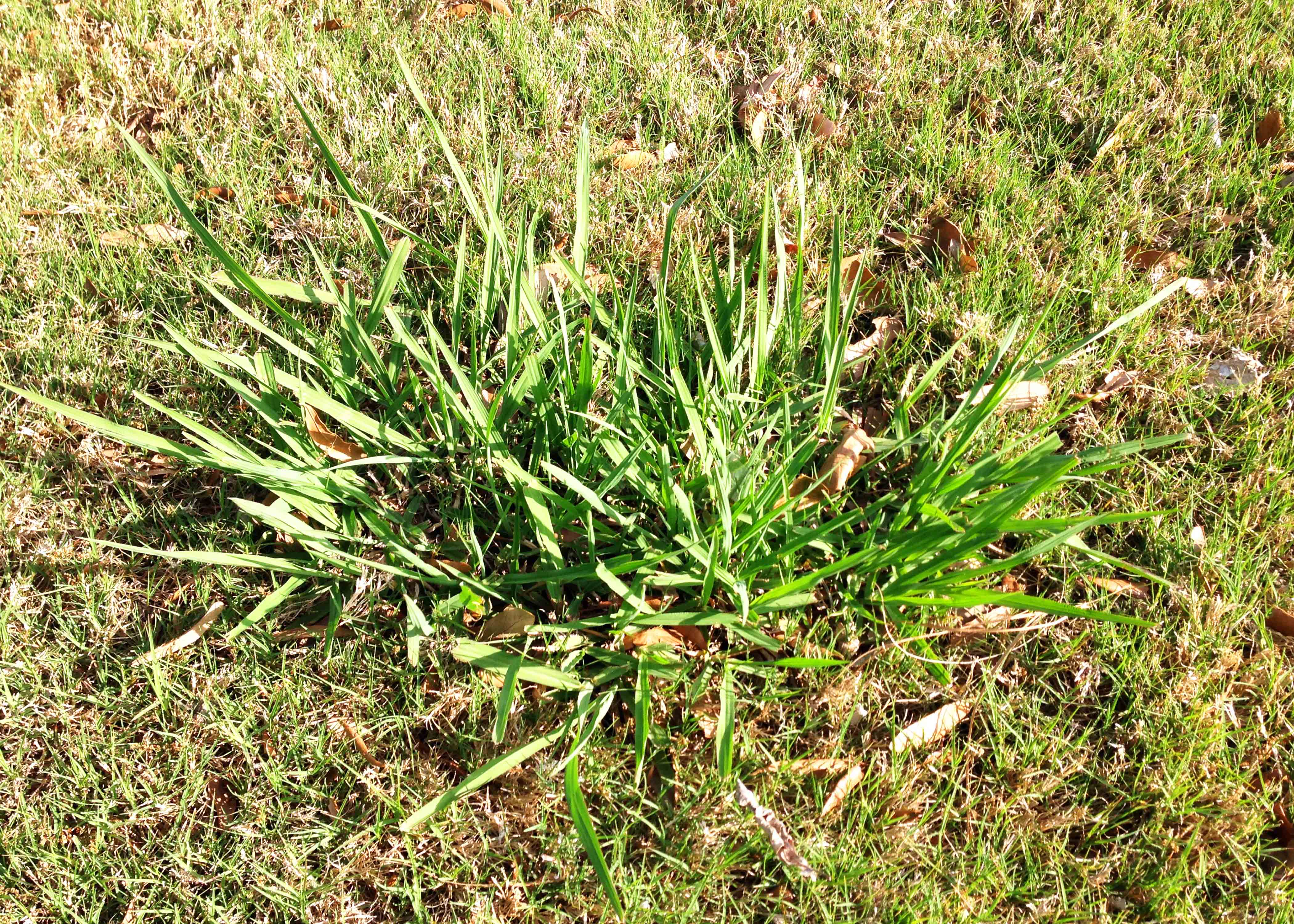 Weeds in grass with light white fuzzy bugs in flour or breadcrumbs..