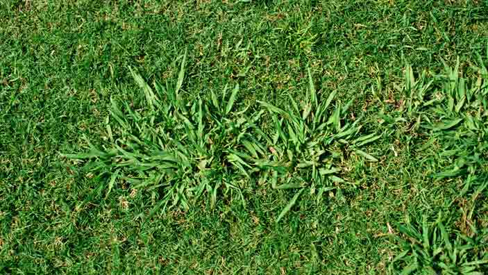 How to Get Rid of Dallisgrass.