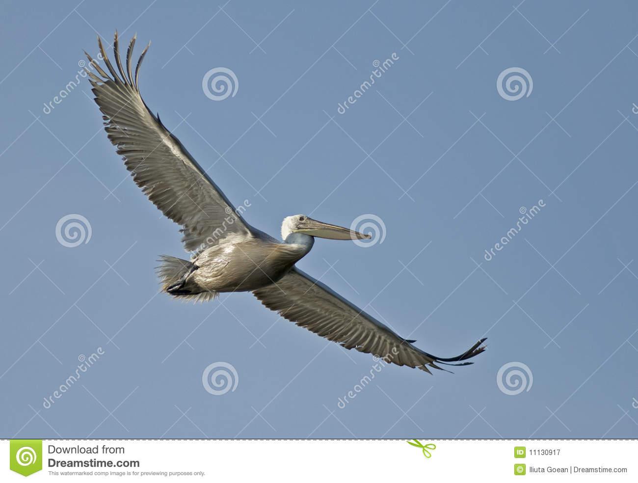 Crispy Or Dalmatian Pelican In Flight Royalty Free Stock.
