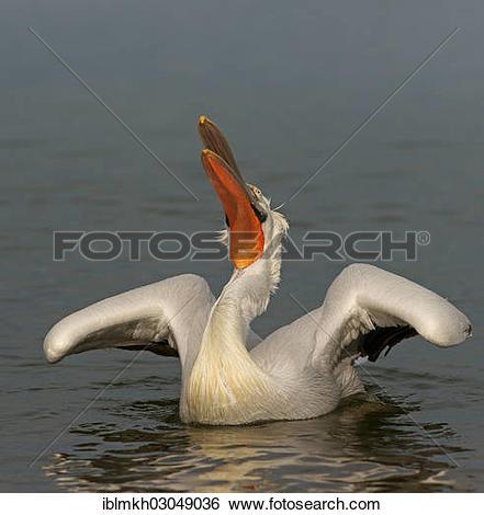 """Stock Images of """"Dalmatian Pelican (Pelecanus crispus), Lake."""