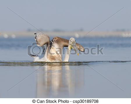 Stock Photography of Dalmatian Pelican as pterodactyl.