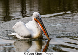 Picture of Portrait of a Dalmatian Pelican.
