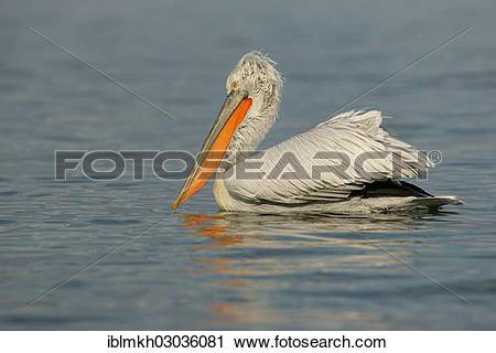 "Stock Photography of ""Dalmatian Pelican (Pelecanus crispus), Lake."