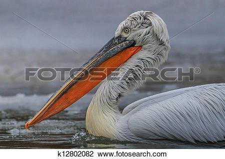 Stock Photo of Dalmatian Pelican (Pelecanus crispus) k12802082.