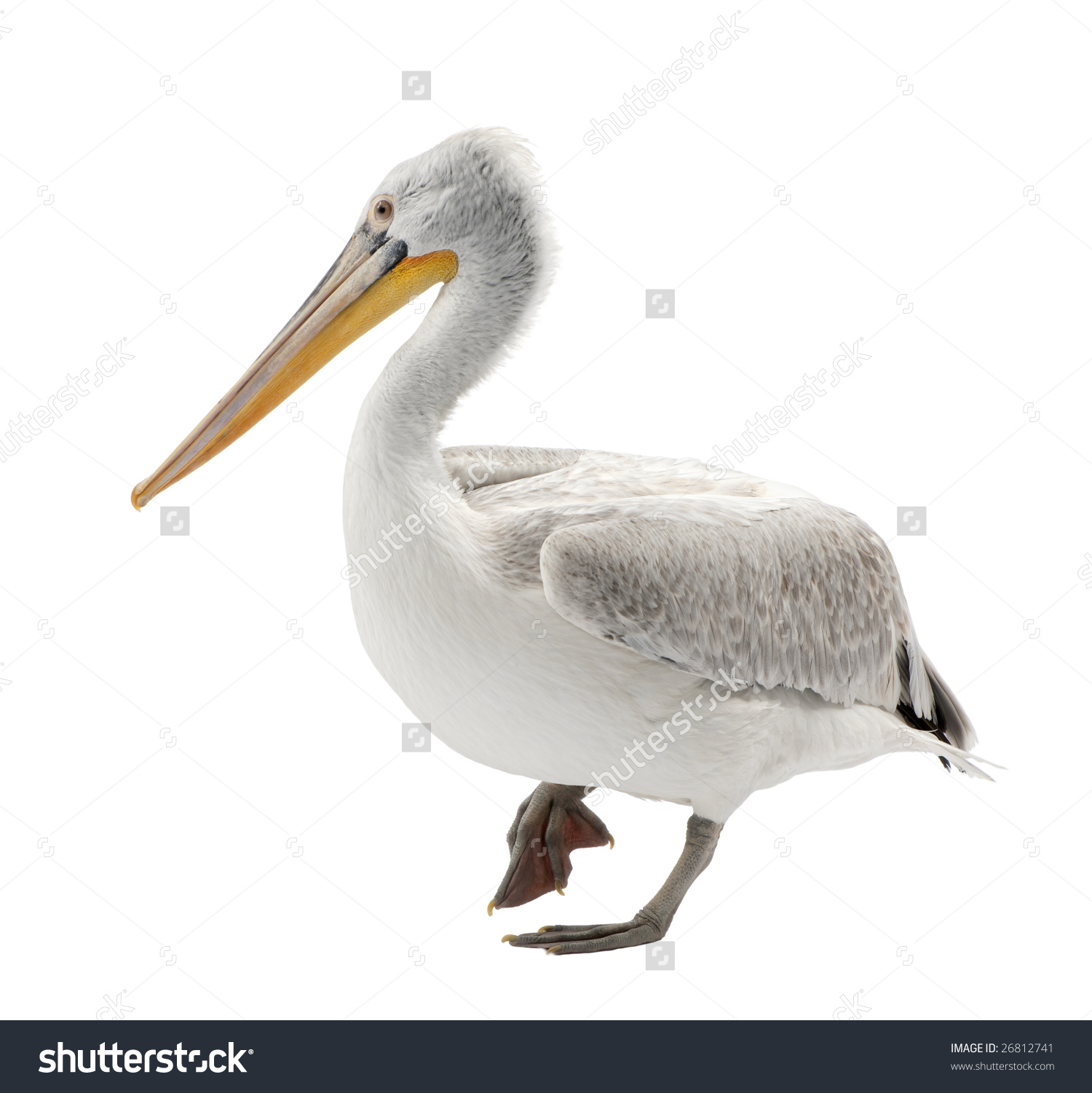 Dalmatian Pelican.