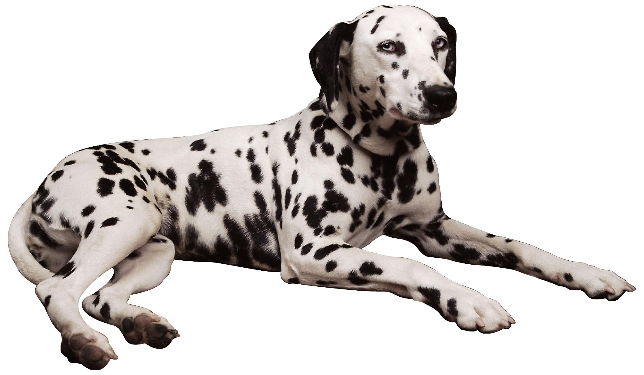 Dalmatian PNG Clipart.