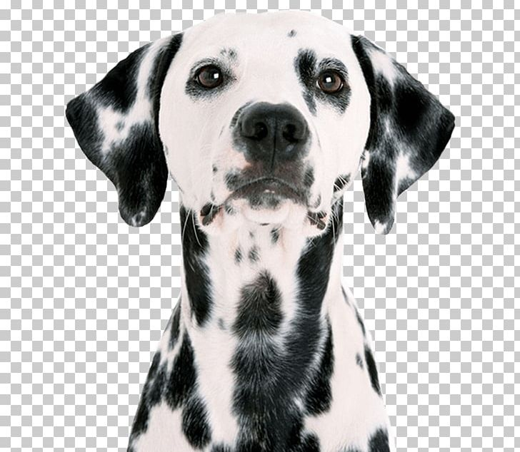Dalmatian Dog Puppy Pet Sitting Labrador Retriever Pug PNG, Clipart.
