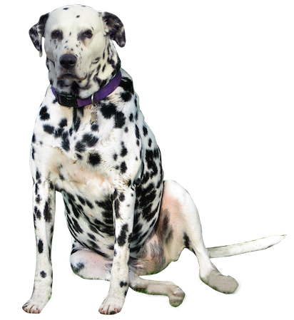 Happy New Year Dalmatian Png & Free Happy New Year Dalmatian.png.