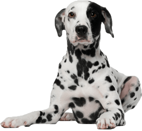 Dalmatian Dog transparent PNG.