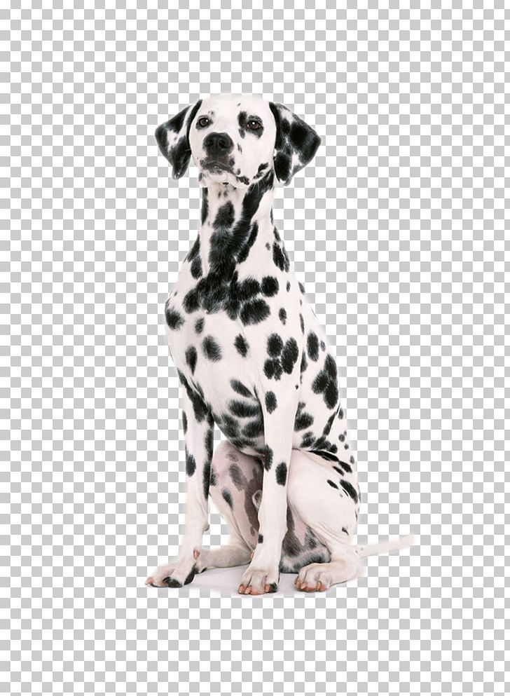 Dalmatian Dog Puppy Dog Harness Dog Collar Pet PNG, Clipart, Animals.