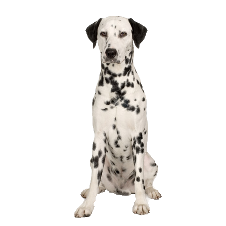 Dalmatian PNG Transparent Images, Pictures, Photos.
