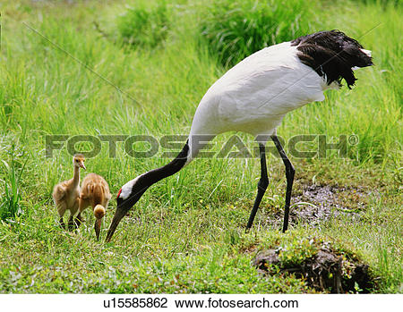 Stock Photo of chick, vertebrate, dam, grass, birds, bird, animal.