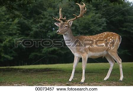 Picture of Cervus, Cervus dama, Dama, Dama dama, Juniors, animal.