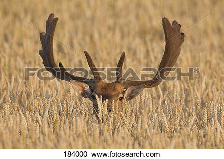 Stock Photography of Fallow Deer (Cervus dama, Dama dama). Buck in.