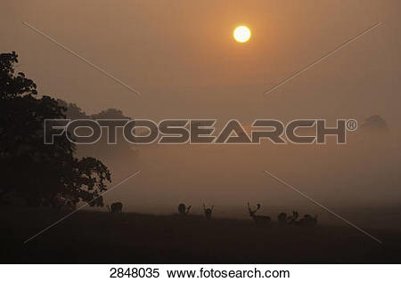 Stock Image of Silhouette of Fallow deer (Dama dama) standing in.