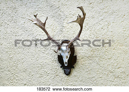Stock Photo of Fallow Deer (Cervus dama, Dama dama). Antlers.