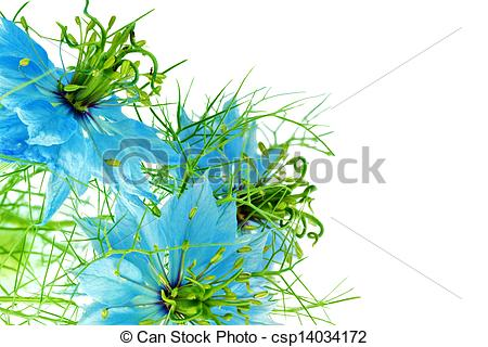 Picture of Nigella damascena on white background. Isolated. Close.