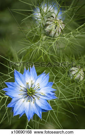 Pictures of Nigella damascena. Blue Flower and Buds x10690168.