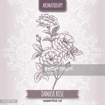 Rosa Damascena Aka Damask Rose Sketch ON Elegant Lace premium.