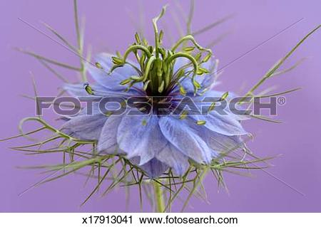 Stock Photography of Love in the mist flower (Nigella damascena.